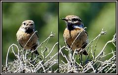 Junges Schwarzkehlchen in der Heide (antje whv) Tags: schwarzkehlchen vogel bird collagen