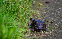 I'm leaving now (long.fanger) Tags: turtle