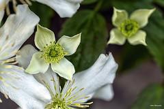 White flower Wales (akatsoulis) Tags: flowers wales nikon nikkor 50mm nikonuk southwales valeofglamorgan spring exploring nikond5300 welshflickrcymru nikoneurope depthoffiled dof bokeh macrodreams macro closeup