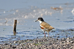 Red-kneed Dotterel (philk_56) Tags: western australia perth bird gwelup lake shore water red kneed dotterel