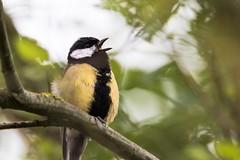 Mésange charbonnière (giloudim) Tags: belguim animaux nature plumage bec jaune noir bokeh mésange oiseaux
