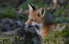 Red fox kit between rocks (Jim Cumming) Tags: redfox fox spring forest nature wildlife morning