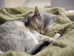 20190330_13_LR (enno7898) Tags: panasonic lumix lumixg9 dcg9 vario 35100mm f28 cat pet abyssinian