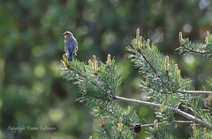 Bird_2019_05_15_2360sm (karenpatterson) Tags: easternbluebird sialiasialis thrush bird songbird backyardbird avian femalebluebird