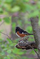 Bird_2019_05_14_2285sm (karenpatterson) Tags: easterntowhee pipiloerythrophthalmus songbird avian