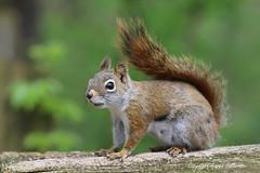Squirrel_2019_05_15_003sm (karenpatterson) Tags: americanredsquirrel treesquirrel pinesquirrel wildmammal rodent woodlandanimal