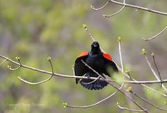 Bird_2019_05_15_2350sm (karenpatterson) Tags: redwingblackbird agelaiusphoeniceus blackbirdsinging songbird avian nature
