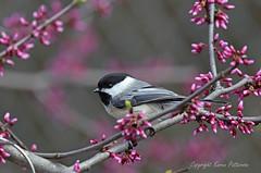 Bird_2019_05_13_2272sm (karenpatterson) Tags: blackcappedchickadee poecileatricapillus songbird backyardbird avian redbudtree