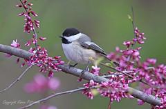 Bird_2019_05_13_2271sm (karenpatterson) Tags: blackcappedchickadee poecileatricapillus songbird backyardbird avian redbudtree