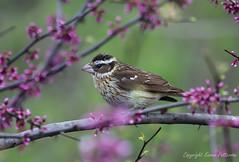 Bird_2019_05_13_2269sm (karenpatterson) Tags: rosebreastedgrosbeakfemale songbird birdinspring birdinredbudtree grosbeakinredbudtree avian