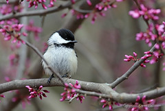 Bird_2019_05_13_2266sm (karenpatterson) Tags: blackcappedchickadee poecileatricapillus songbird backyardbird avian redbudtree