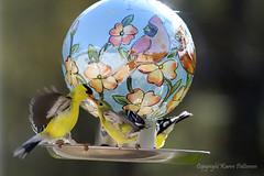 Bird_2019_05_13_2254sm (karenpatterson) Tags: americangoldfinch spinustristis songbird avian malegoldfinchfeedsfemalegoldfinch goldfinchesatfeeder birdfeeder birdfeeding backyardbirds