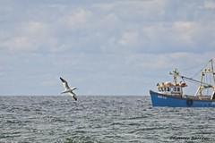 gannet and fishing boat (RCB4J) Tags: nature wildlife art ayrshire ayrshirecoast clydecoast firthofclyde irvinebeach photography rcb4j ronniebarron scotland sigma150500mmf563dgoshsm sonyalpha sonyilca77m2 on1 on1pics