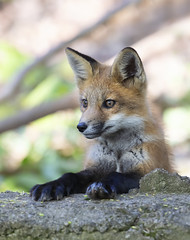 Red fox kit sitting up (Jim Cumming) Tags: redfox fox kit spring nature wildlife forest canada