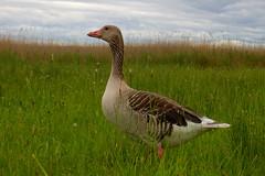 Graugans (PacificKlaus) Tags: graugans goose anseranser greygoose bird vogel neusiedlersee austria