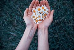 #flower#daisy#fiori#margherita#hands#mani#grass#erba#composition#composizione#petals#petali#bello# (cremascosabrina) Tags: flower daisy fiori margherita hands mani grass erba composition composizione petals petali bello