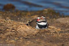Nesting Three-banded Plover (leendert3) Tags: leonmolenaar wildlife southafrica krugernationalpark nature birds threebandedplover