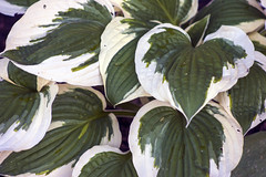 Hosta Minuteman (arlinescottphotography.com) Tags: arlinescottphotography in my yard hanging basket garden flowers bacopa poppy lithodora star dream queen hosta minuteman lobelia babys breath snapdragon helen iris yellow white purple blue varigated leaf foliage flower rochester washington state thurston county 2005