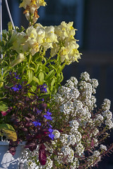 Snapdragon Basket (arlinescottphotography.com) Tags: arlinescottphotography in my yard hanging basket garden flowers bacopa poppy lithodora star dream queen hosta minuteman lobelia babys breath snapdragon helen iris yellow white purple blue varigated leaf foliage flower rochester washington state thurston county 2005
