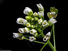 Klein und unscheinbar am Feldrand (J.Weyerhäuser) Tags: blume blüte heliconfocus makro stack studio wegesrand wednesdaymacro