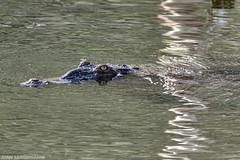 Cocodrilo americano (Crocodylus acutus) (juan.sangiovanni) Tags: cocodrilo americano crocodylus acutus reptil lago enriquillo