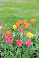 Time of the tulips (pegase1972) Tags: quebec qc québec fleur flower tulip tulipe tulips flora nature licensed dreamstime shutter shutterstock fotolia adobe adobestock