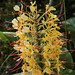 Hedychium garderianum (Himalayan ginger)