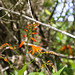 Crocosmia × crocosmiiflora (Montbretia)