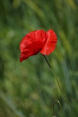 Mohnblume (Ina Hain) Tags: spring frühling sonyalpha7ii sony nature natur kontrast grün rot flower wildblumen blume mohnblume