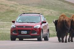 Buffalo.....and a car (Hazboy) Tags: hazboy hazboy1 south dakota buffalo bison custer state park animals april 2019 west western us usa america