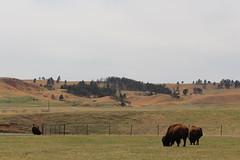 Some buffalo roaming the plains in Custer State Park, South Dakota. (Hazboy) Tags: hazboy hazboy1 south dakota buffalo bison custer state park animals april 2019 west western us usa america