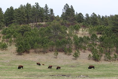 More buffalo in Custer State Park (Hazboy) Tags: hazboy hazboy1 south dakota buffalo bison custer state park animals april 2019 west western us usa america