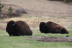 Two Buffalo is laying in the grass at Custer State Park (Hazboy) Tags: hazboy hazboy1 south dakota buffalo bison custer state park animals april 2019 west western us usa america