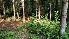 Light between the Trees / Licht zwischen den Bäumen (Fred from Switzerland) Tags: light licht trees bäume