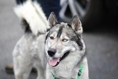 IMG_9174 (i_am_lee_sam) Tags: 2019 care strut for strays charity dog walk skokie il heterochromia