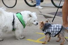 IMG_9146 (i_am_lee_sam) Tags: 2019 care strut for strays charity dog walk skokie il
