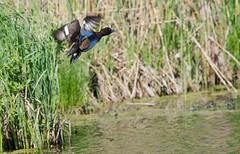 Хохлатая чернеть - Aythya fuligula - Tufted duck (SvetlanaJessy) Tags: природа птицы хохлатаячернеть bird birds tuftedduck aythyafuligula