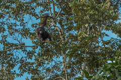 Orang-utan (zwierzory) Tags: borneo kinabatangan kinabatanganriver maleysia malezja sabah wildlife animal