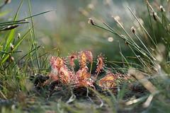 Zonnedauw #2 (Joep Hendrix) Tags: 2 zonnedauw natuur nature beegderheide maasgouw beegden light licht drosera droseraceae macro closeup bokeh limburg netherlands nederland