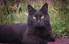 Spuntarello (Pepenera) Tags: cat cats chat gatto gato gatti black blackbeauty blackcat felino