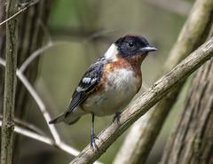 Bay-breasted Warbler (Setophaga castanea) (mesquakie8) Tags: bird warbler feedingoninsectsalongthecreek male baybreastedwarbler setophagacastanea bbwa rockcutstatepark winnebagocounty illinois 1137