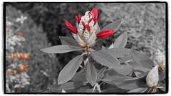 rote Tropfen (1elf12) Tags: rhododendron flower blume hannover germany deutschland friedhof cemetary michaelisfriedhof ricklingen