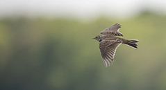 Skylark In Flight (Osgoldcross Photography) Tags: bird lbj skylark lark flying inflight display displaying spring airbornre sky wings beak head legs tail frickleycountrypark nikon nikond850 d850 raw nature naturalhistory behaviour birdbehaviour