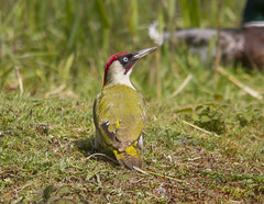 Green Woodpecker (wayne.withers1970) Tags: small pretty bird wings color colorful nature natural colour colourful wild wildlife wales spring flickr dof naturephotography country countryside outside outdoors alive fauna flora canon sigma light blur black white red brown green yellow lake river feathers water fine dark animal plant vegetation pond grass woodpecker
