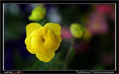05-19 6207A_Trollblume (werner_austria) Tags: trollblume frühling gelb blumen naturschutz
