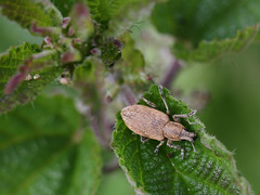 Common Leaf Weevil (Wild Chroma) Tags: beetles insects netherlands weevil phyllobius pyri phyllobiuspyri curculionidae