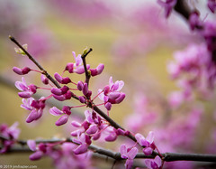 2019 Redbud (Jim Frazier) Tags: 2019 20190327cantignyphasetwoiscoming 20190512cantignyphotowalk 2019cantigny cerciscanadensis fabaceae beautiful beauty bloom blooming blossoming blossoms botanic botanicgardens botanicalgardens branches buds cantigny cantignypark cantignyvolunteer class closeup detail dupage dupagecounty easternredbud flora floral flowering flowers forbs fountaingarden framed framing gardening gardens horticulture il illinois jimfraziercom macro may museums natural nature parks photo photoclass photowalk pink plants preserves publicgardens q3 redbuds ruleofthirds shallowdepthoffield shallowfocus spring study trees volunteer wheaton