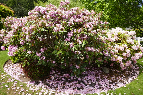 2019--Falling rhododendron blossoms in public area of Martha's Vineyard; University Place, Washington