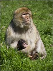 Barbary Macaque & baby (Craig 2112) Tags: barbary macaque monkey baby trenthammonkeyforest staffordshire macacasylvanus