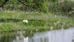 Egrets (J K German) Tags: egrets saltplains lake nature oklahoma water marsh reserve wildlife